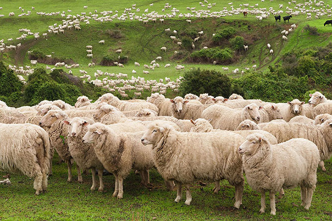 Canterbury Sheep, New Zealand